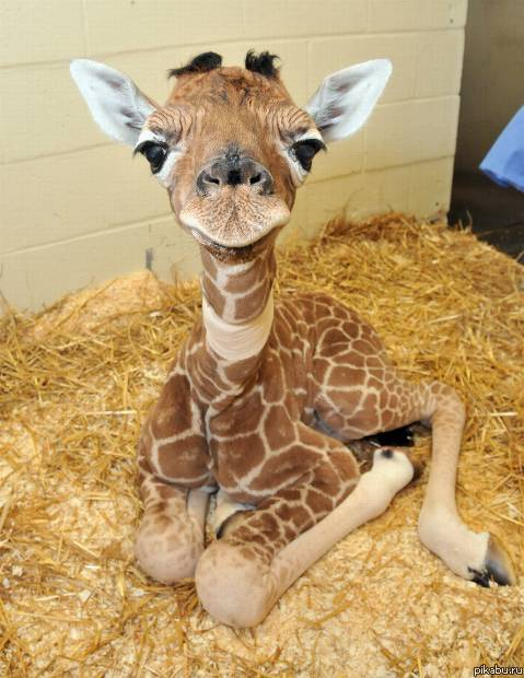 Baby giraffe mouth full