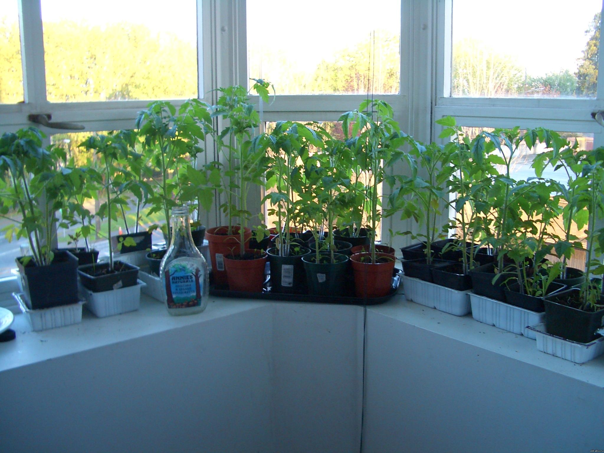Помидоры на балконе: выращивание в пластиковых бутылках тома.
