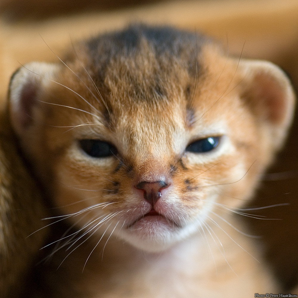 angry wet kitten - 750×776