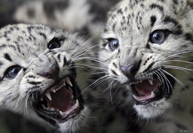 Baby snow white tiger