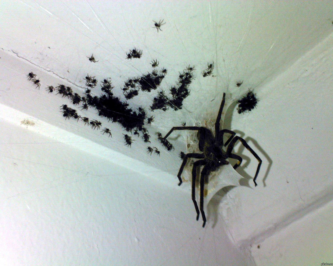 Живородящие пауки картинки 3