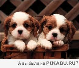 скачать фото собак бесплатно лабрадор