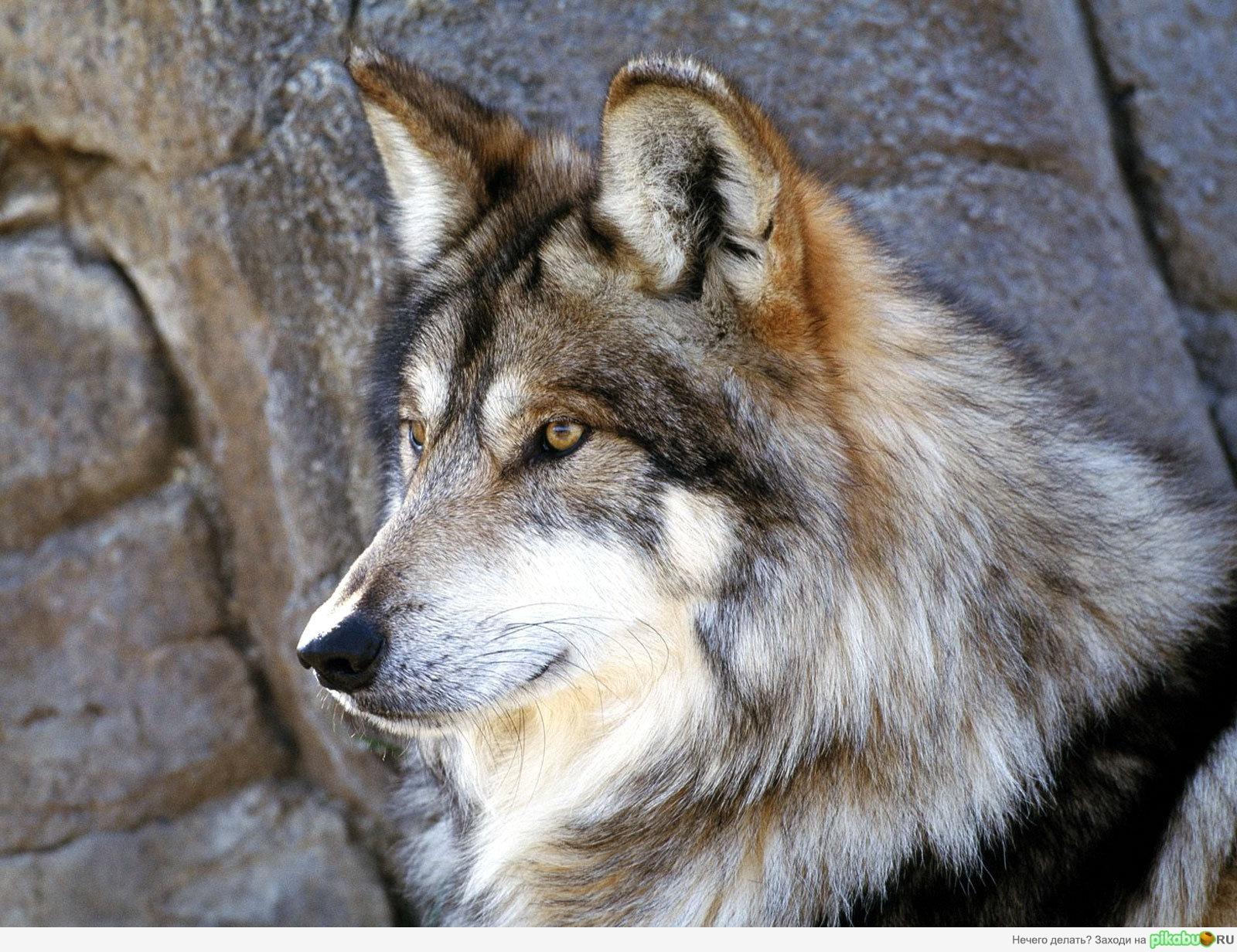 Обои волк, серый, камни на рабочий стол.