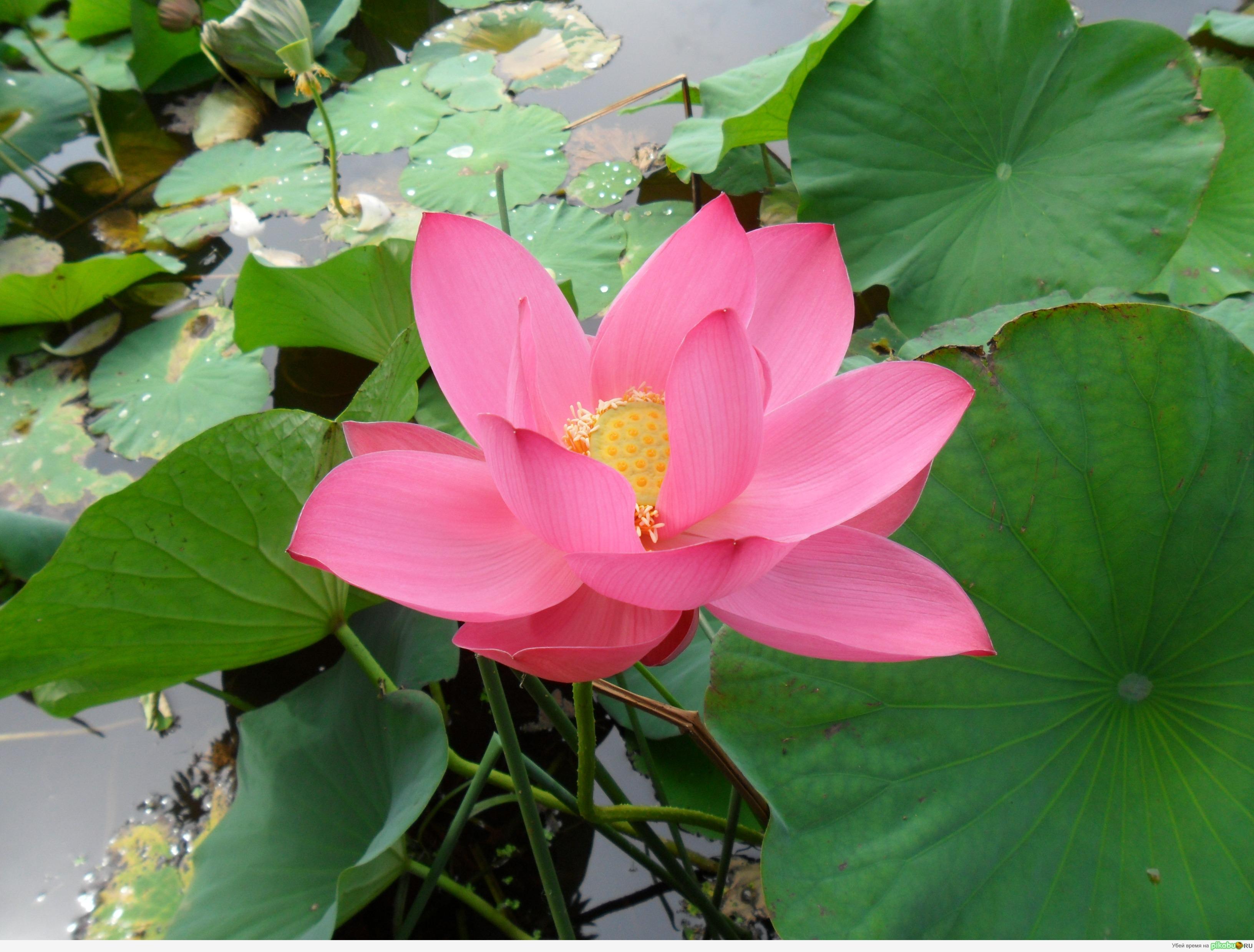 Цветок лотоса фото где растут