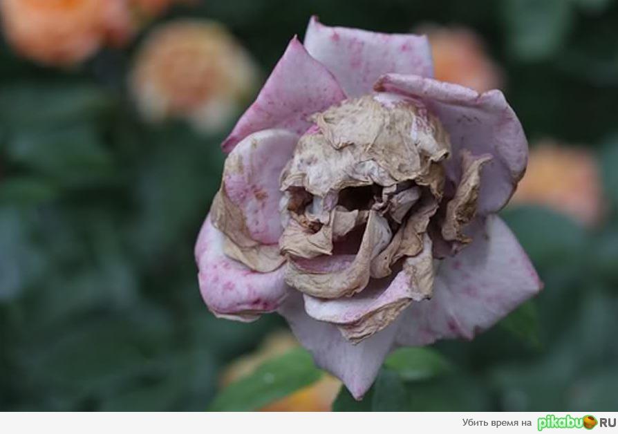 гнилой цветок фото