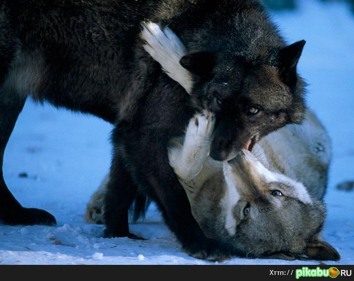 Поцелуй с волком фото
