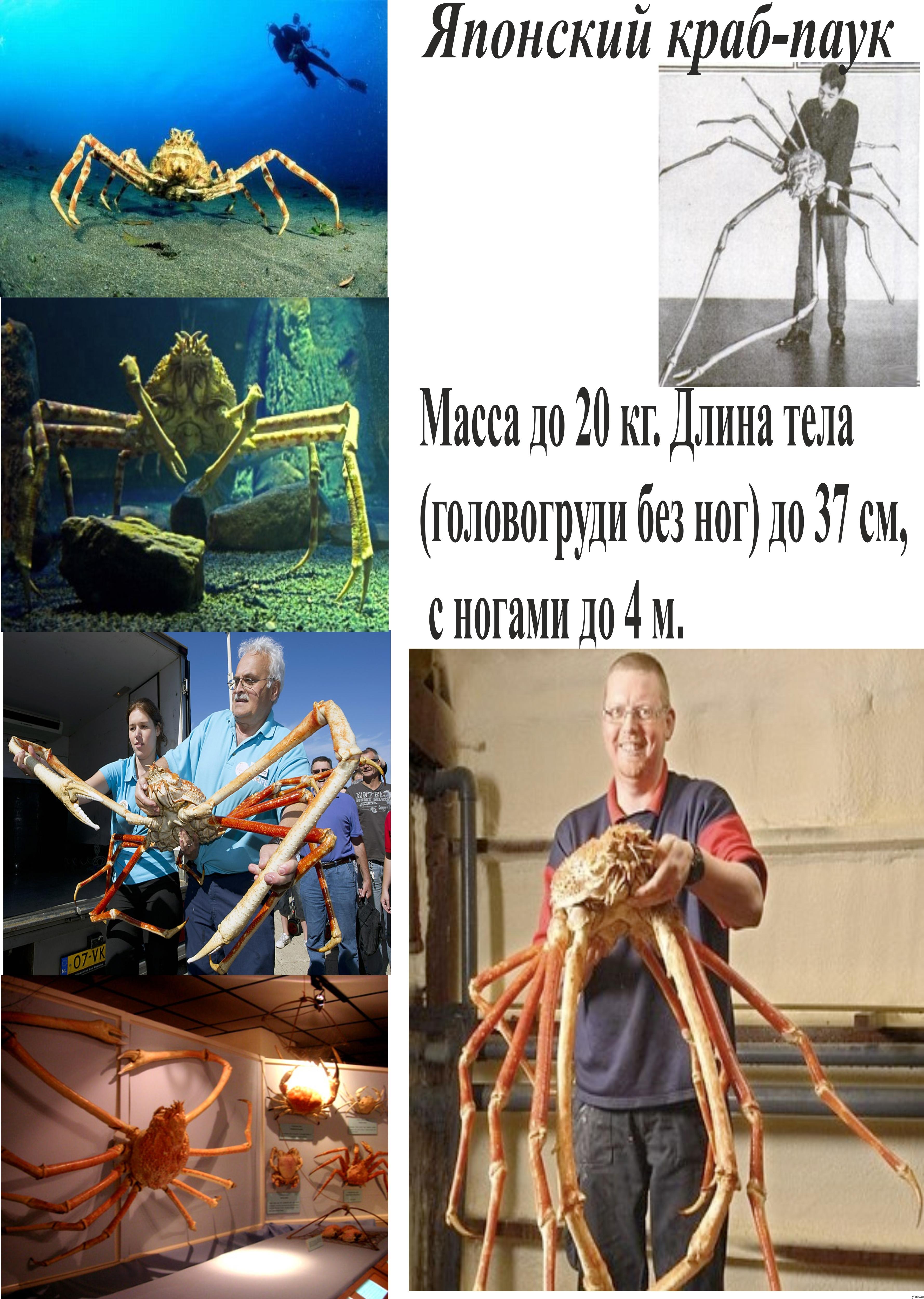 Crabzilla britain