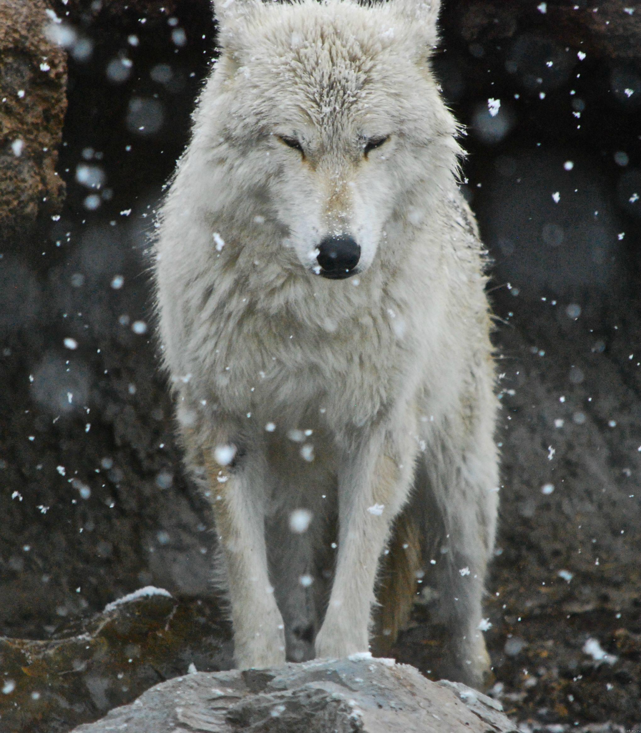 Фото на аву в вк волков