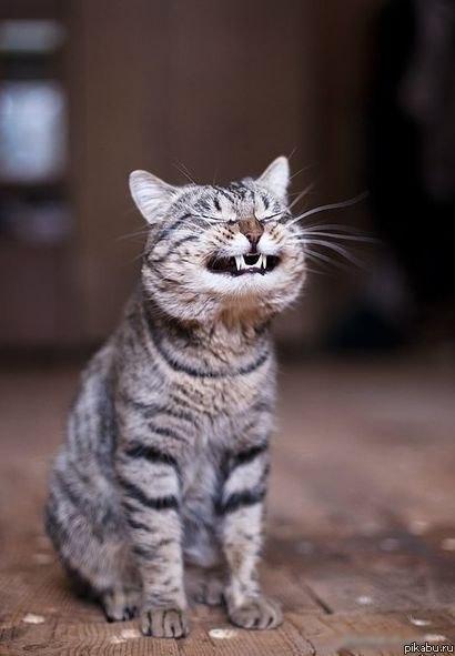 Cat smiling teeth