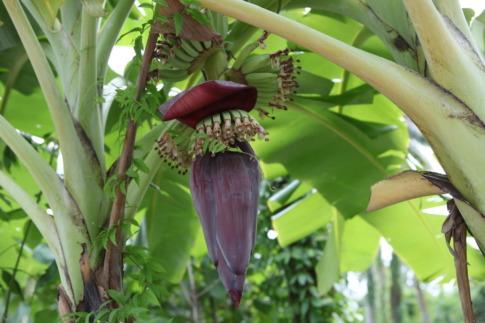 бананы картинки как растут