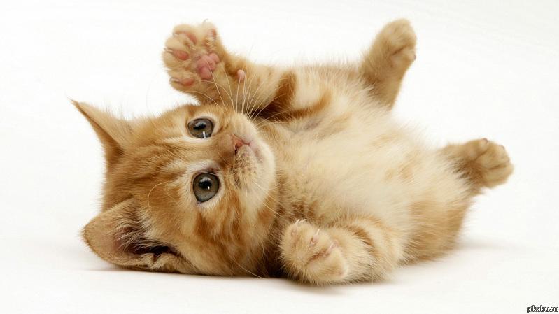 Kittengezocht overzicht advertenties Maine Coon kittens