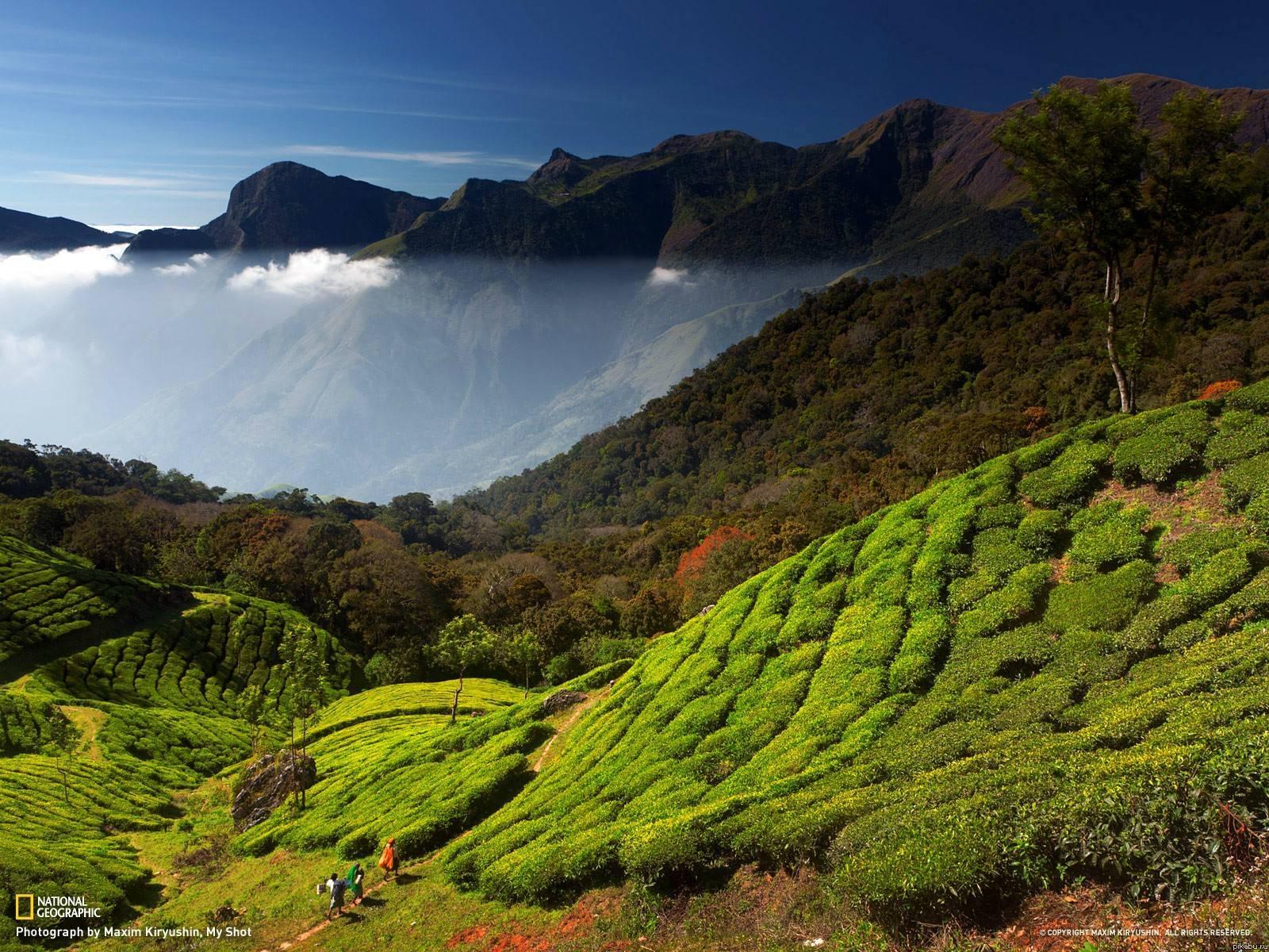 Чайные плантации в штате керала южная