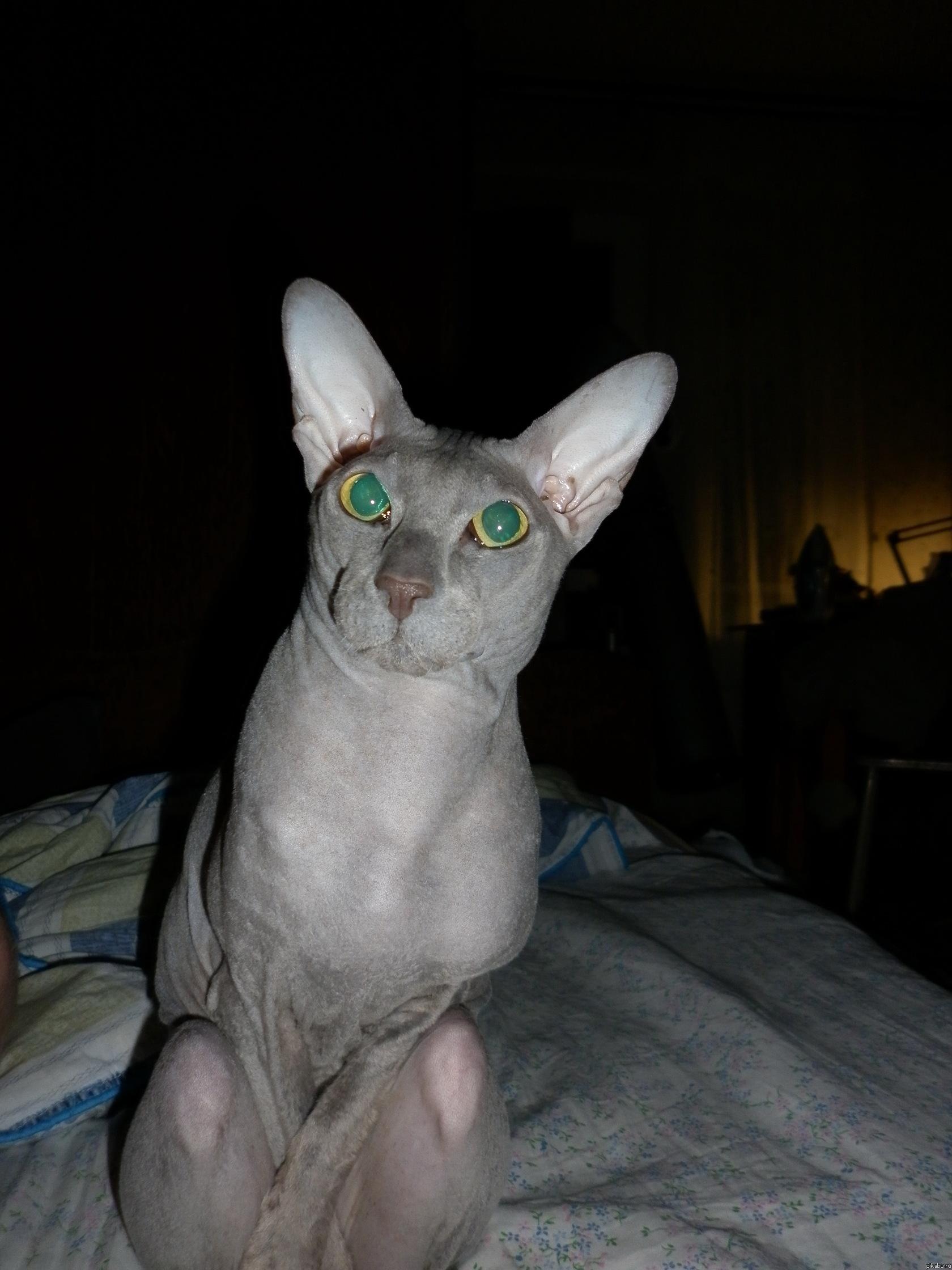 картинки кот лысый