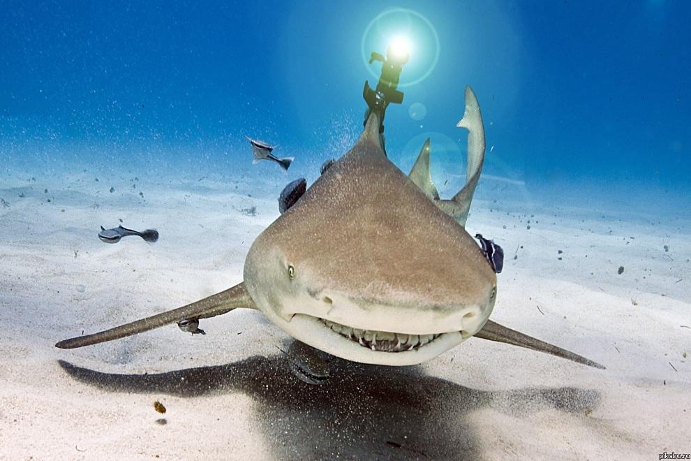 фото лимонная акула