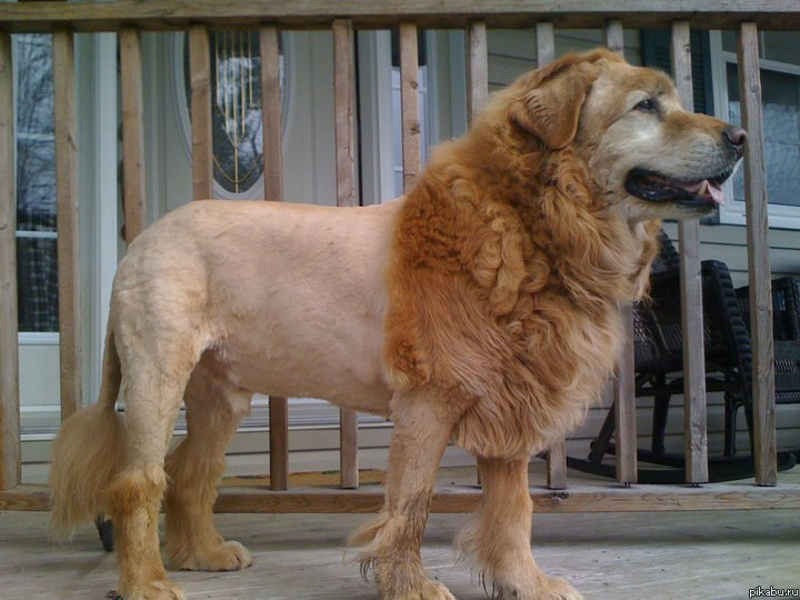 dog that looks like a lion - 720×540