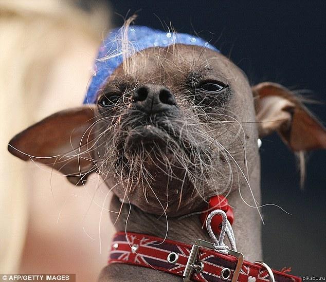 Конкурс на самую уродливую собаку фото