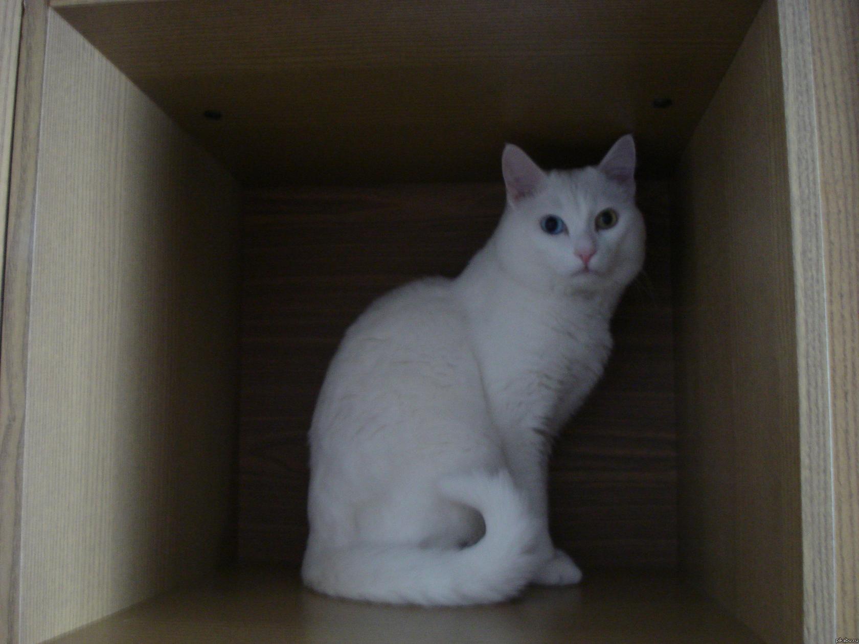 Белый кот в сургуте
