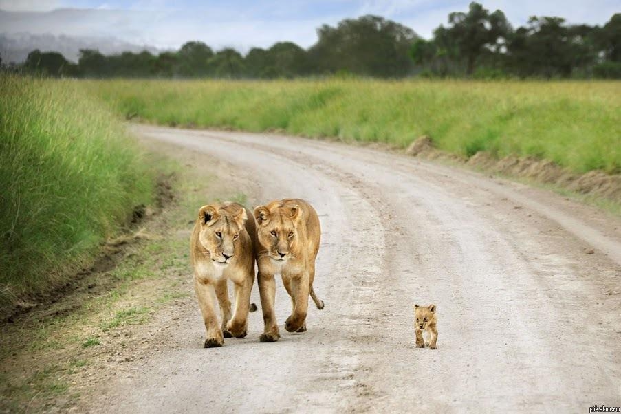 Лев жистоко трахает львицу фото 698-965