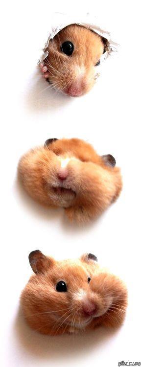 рисунок хомяка с большими щеками