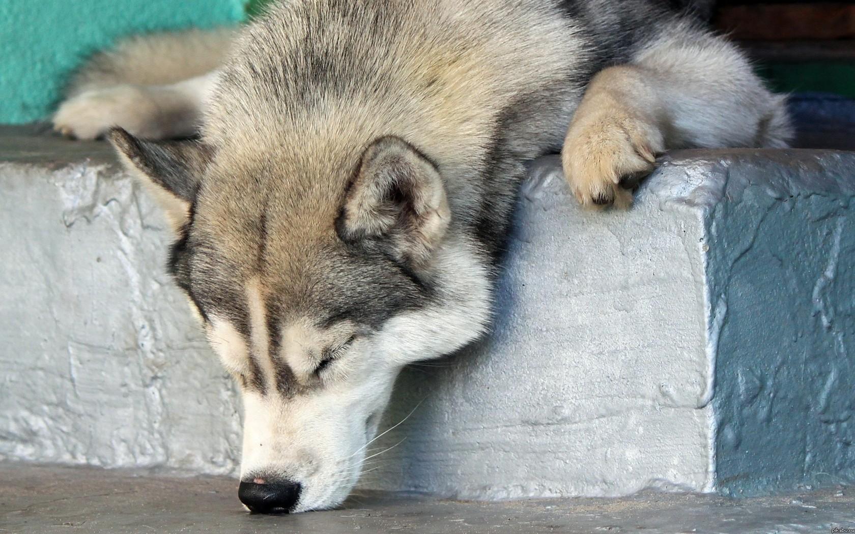 Картинки по запросу собаки хаски