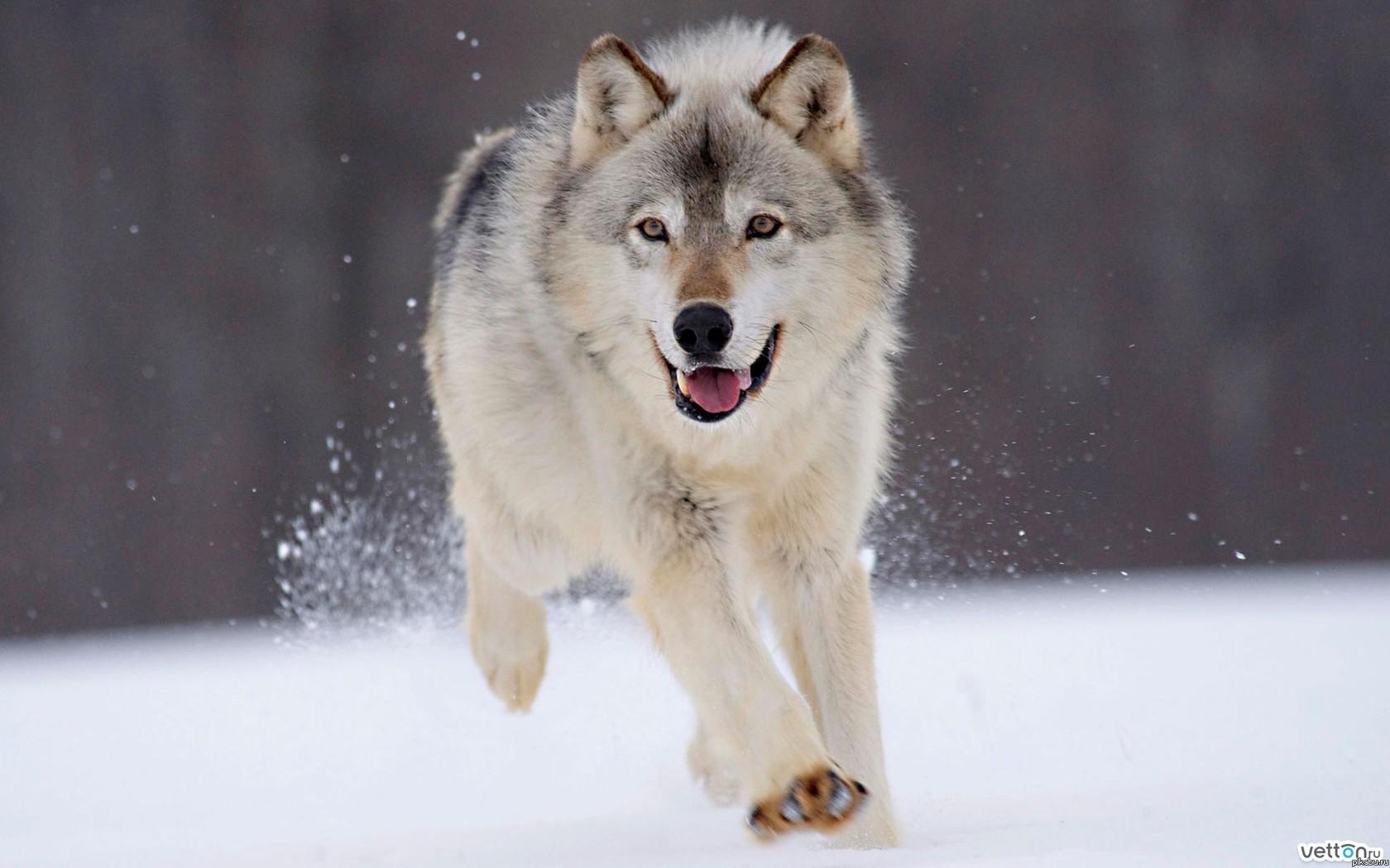 Волк что все котики да сисечки на те