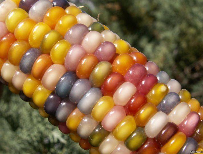Как сделать попкорн из обычной кукурузы фото 170