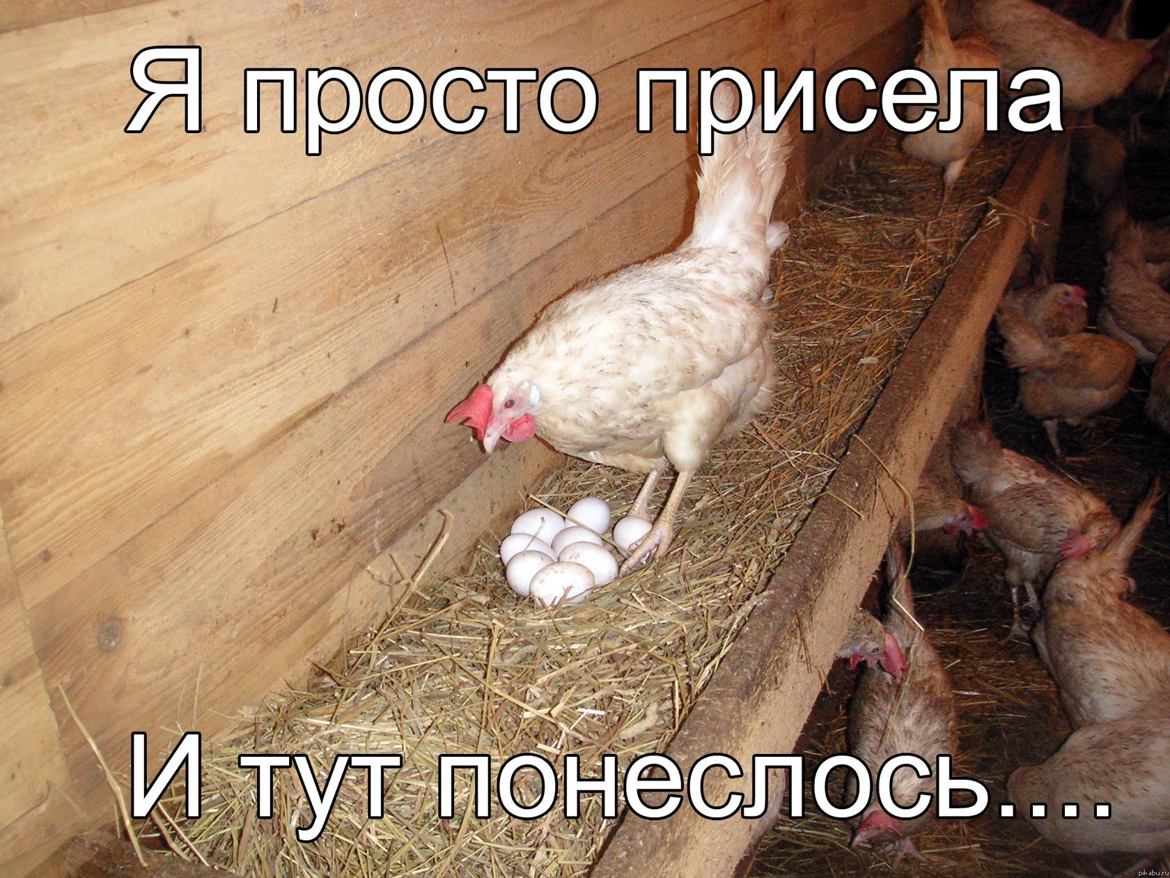 Почему куры клюют свои яйца и что с этим делать