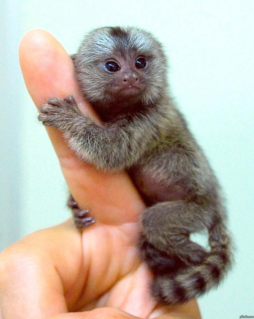 Finger Monkey  Cute Pics  Amazing Facts  Price 2016