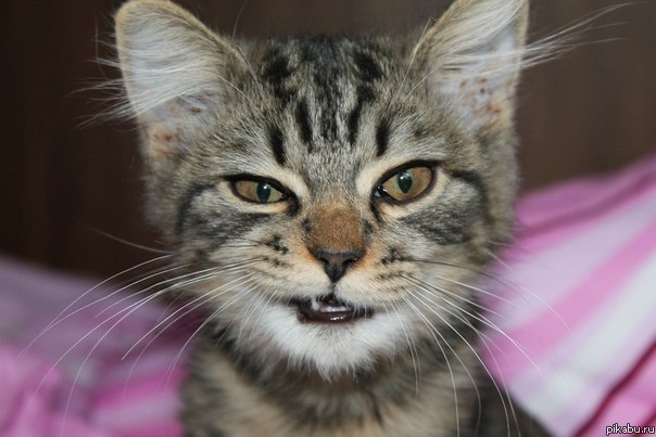 Фото злого кота на аву