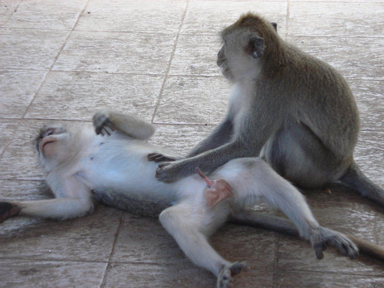 как ебутся обезьяны