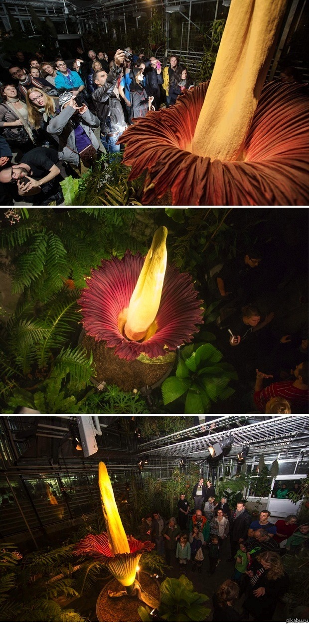 Самый большой в мире цветок распустился в Швейцарии В швейцарском ботаническом саду в Базеле распустился самый большой в мире цветок — Титан Арум (Аморфофаллус титанический) высотой 2,27 метра. Картинки и фото